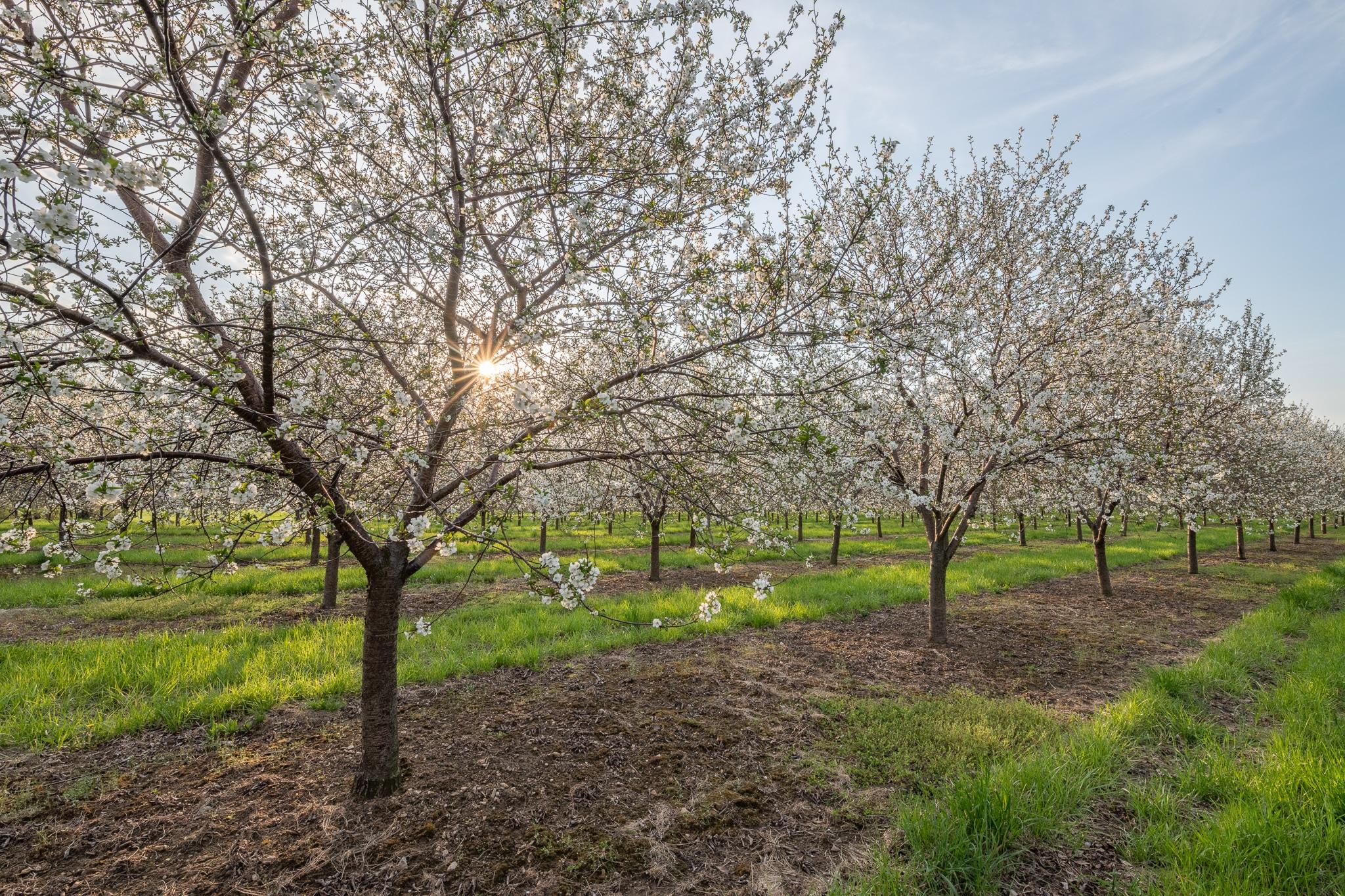 door county cherry blossoms, Wisconsin, sturgeon bay
