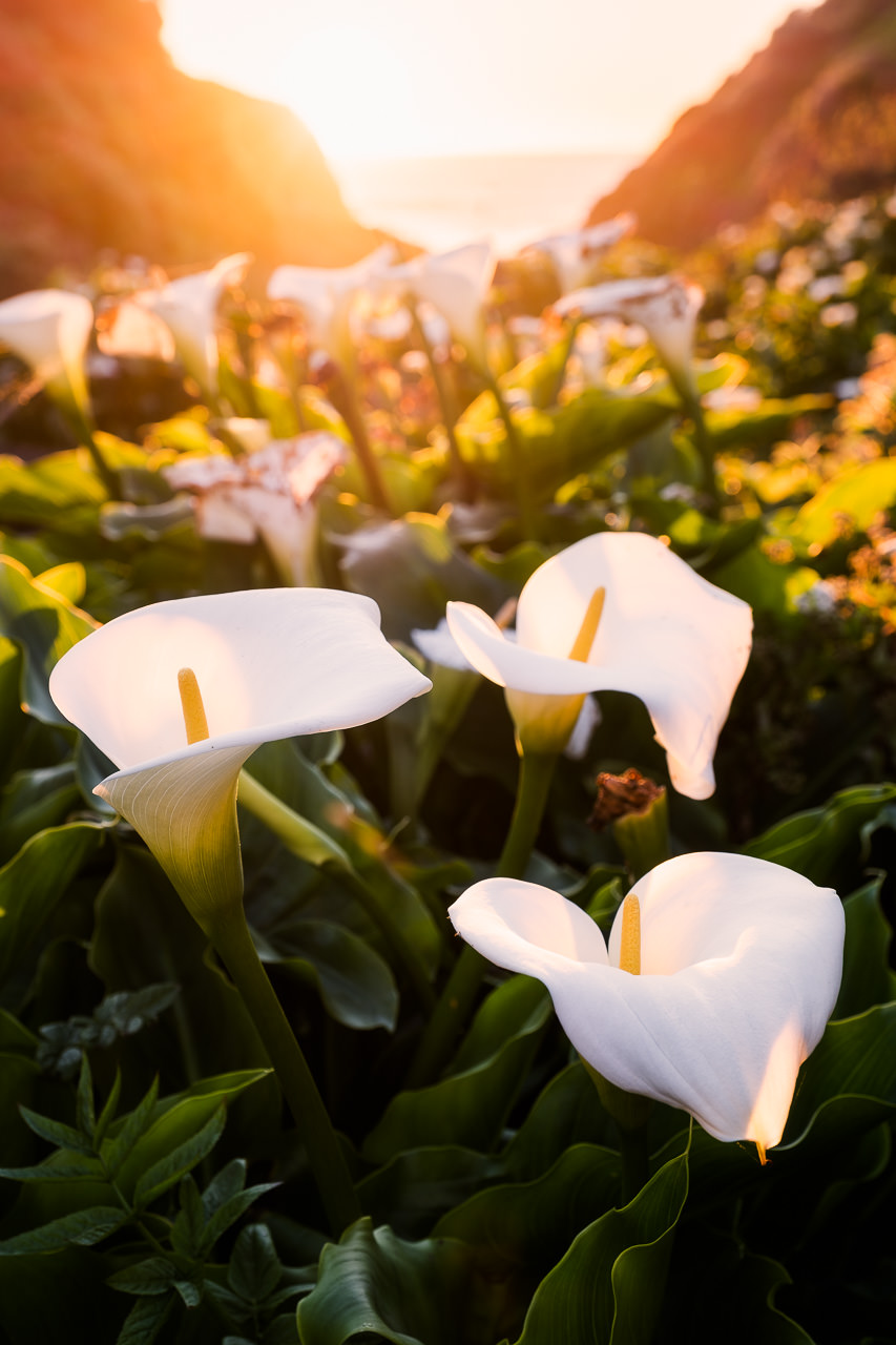 calla lillies, sunset, big sur, california